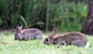 dreaming with rabbits brown